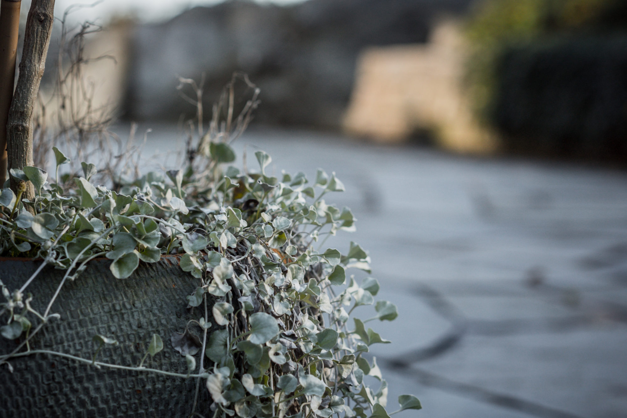 Løvind gartner plante